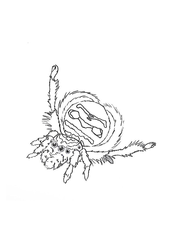 Peacock spider colouring page