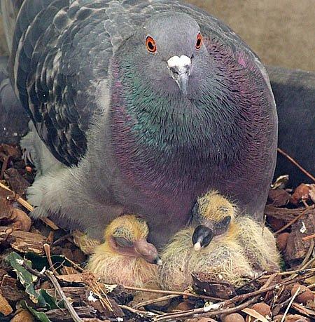pigeon parents #imaginED